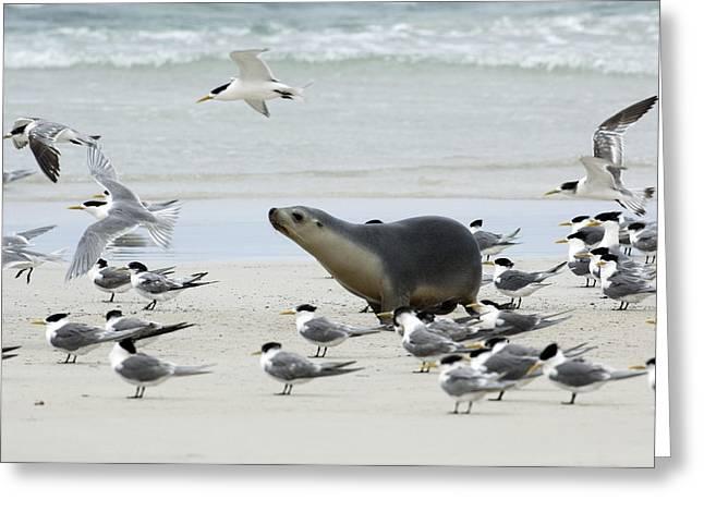 Australian Sea Lion Greeting Card by Tony Camacho