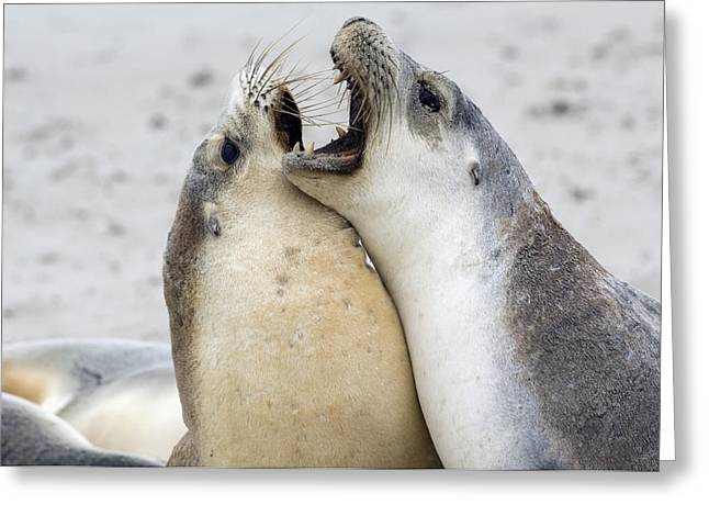 Australian Sea Lion Greeting Cards - Australian Sea Lions Greeting Card by Tony Camacho
