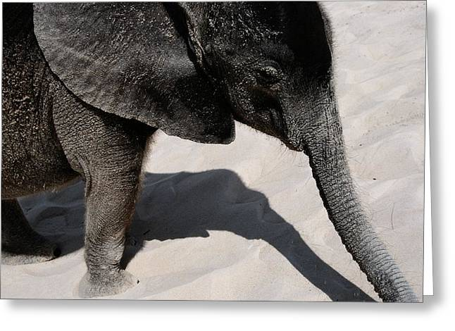 Roost Photographs Greeting Cards - Baby African Elephant Loxodonta Greeting Card by Chris Johns