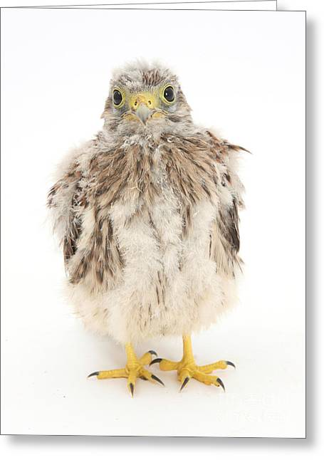 Falcon Greeting Cards - Baby Kestrel Greeting Card by Mark Taylor