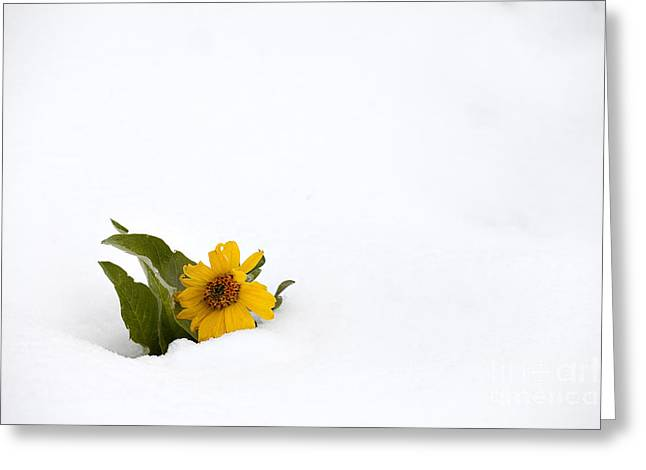 Balsamroot In Snow Greeting Card by Hal Horwitz and Photo Researchers