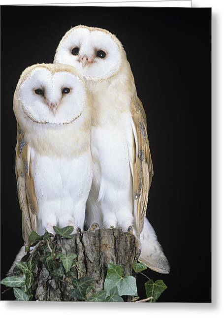 Ornithological Photographs Greeting Cards - Barn Owls Greeting Card by David Aubrey