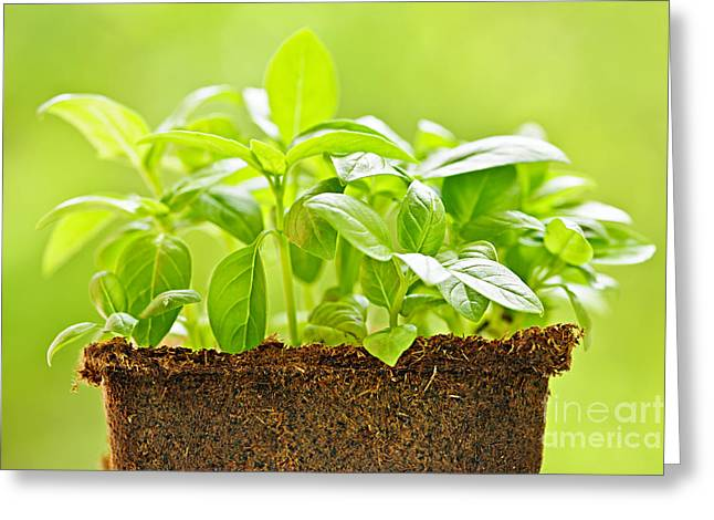 Basil Greeting Cards - Basil Greeting Card by Elena Elisseeva