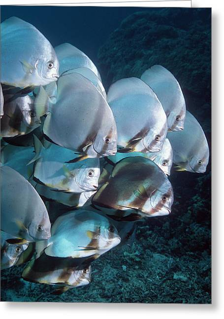 Spadefish Greeting Cards - Batfish Greeting Card by Georgette Douwma
