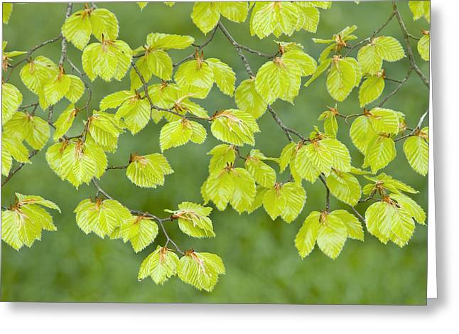 Kingston Greeting Cards - Beech Tree Leaves (fagus Sylvatica) Greeting Card by Adrian Bicker