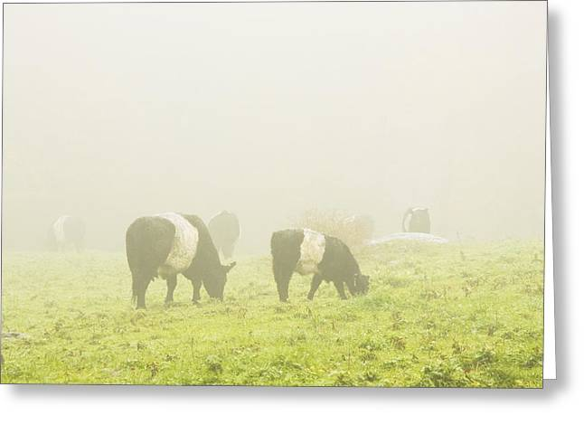 Domestic Cattle Greeting Cards - Belted Galloway Cows Grazing On foggy Farm Field Maine Greeting Card by Keith Webber Jr