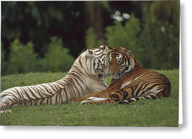 Bengal Tiger Panthera Tigris Tigris Greeting Card by Konrad Wothe