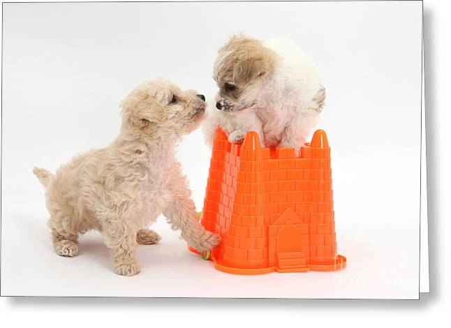 Sleeping Baby Animal Greeting Cards - Bichon Frise & Yorkshire Terrier Greeting Card by Mark Taylor