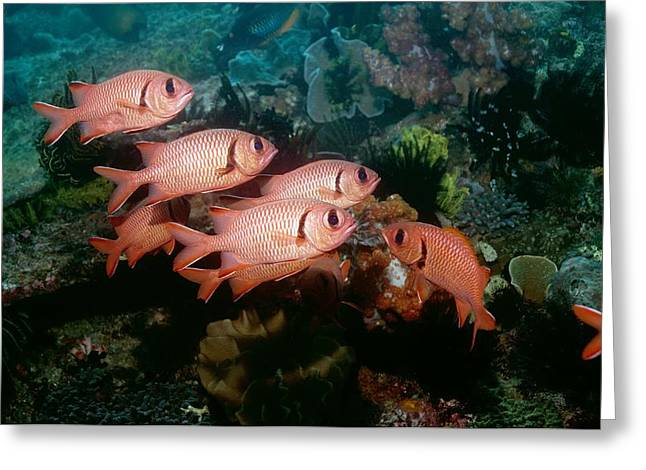 Reef Fish Greeting Cards - Bigscale Soldierfish Greeting Card by Georgette Douwma