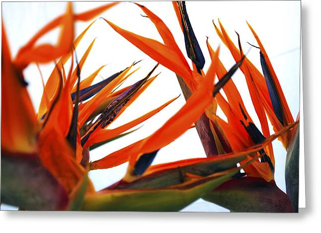 Sophisticated Greeting Cards - Bird Of Paradise  Greeting Card by Sumit Mehndiratta