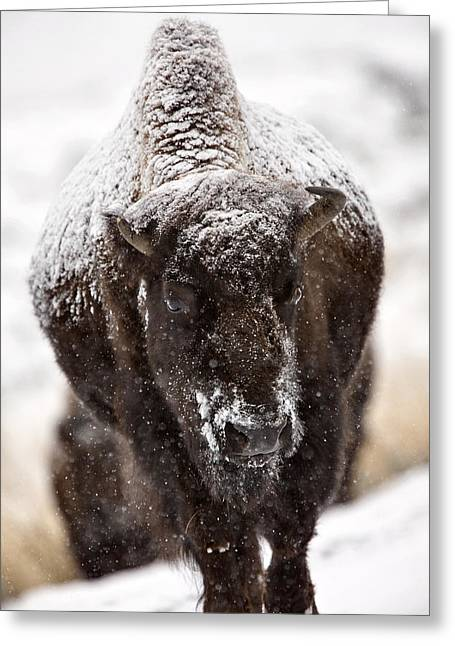 Grazing Snow Digital Greeting Cards - Bison Buffalo Wyoming Yellowstone Greeting Card by Mark Duffy
