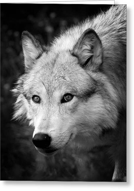 Preditor Photographs Greeting Cards - Black and White Wolf Greeting Card by Steve McKinzie