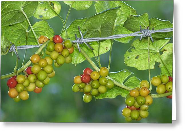 Black Berries Greeting Cards - Black Bryony (tamus Communis) Berries Greeting Card by Adrian Bicker
