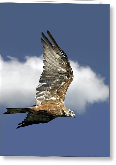 Black Kite Greeting Cards - Black Kite In Flight Greeting Card by Linda Wright