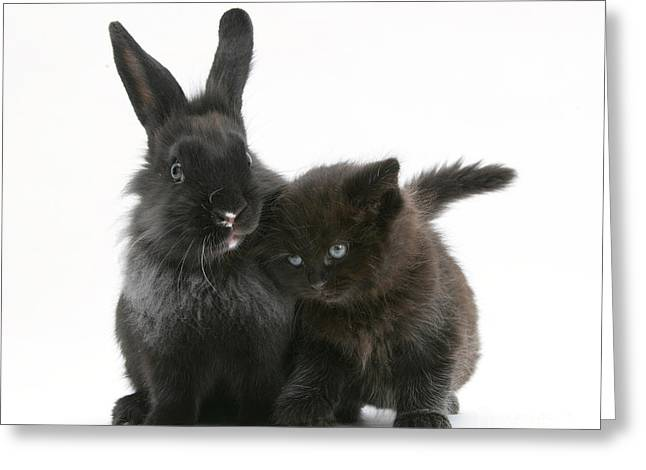 House Pet Greeting Cards - Black Kitten With Black Lionhead-cross Greeting Card by Mark Taylor