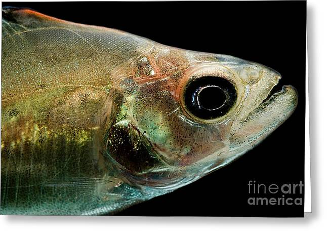 Aquarium Fish Greeting Cards - Black Piranha Greeting Card by Danté Fenolio