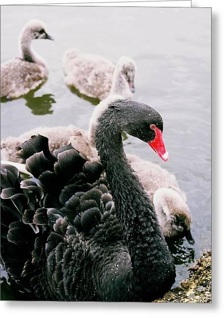 Black Swan Greeting Card by William Walker