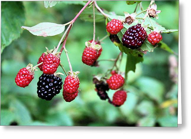Blackberries Greeting Card by Kristin Elmquist