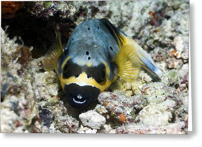 Underwater Dog Greeting Cards - Blackspotted Puffer Greeting Card by Georgette Douwma