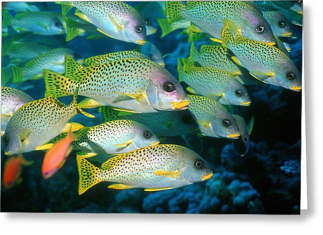 Schooling Greeting Cards - Blackspotted Sweetlips Greeting Card by Georgette Douwma