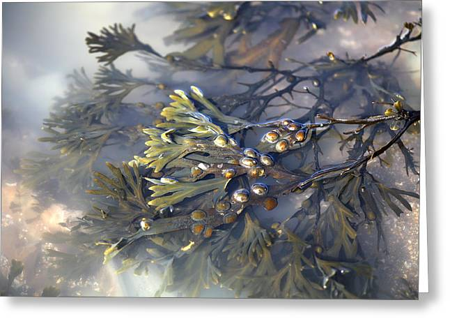Bladder Wrack (fucus Vesiculosus) Greeting Card by Dr Keith Wheeler