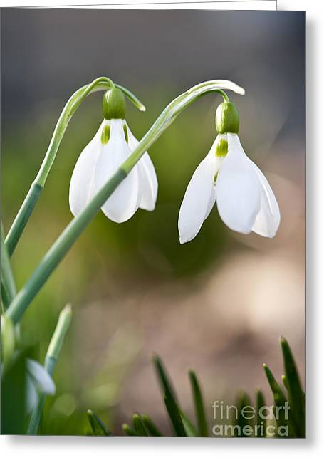 Bask Greeting Cards - Blooming snowdrops Greeting Card by Elena Elisseeva