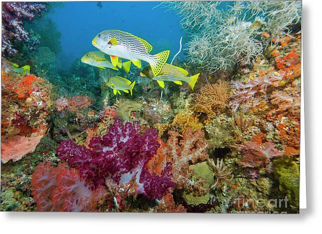 Undersea Photography Greeting Cards - Blue Banded Sweetlip Fish And Coral Greeting Card by Beverly Factor