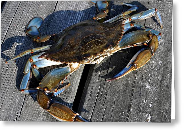 Virginia Beach Greeting Cards - Blue Crab Greeting Card by Jana Goode