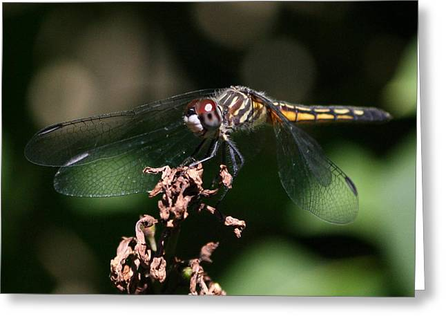 Pause Greeting Cards - Blue Dasher Dragonfly Greeting Card by Anne Babineau