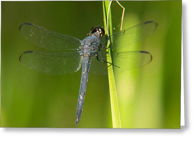Predacious Greeting Cards - Blue Dragonfly 17 Greeting Card by Douglas Barnett