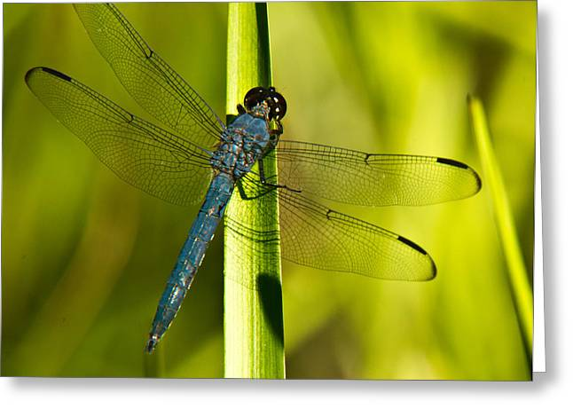 Predacious Greeting Cards - Blue Dragonfly 19 Greeting Card by Douglas Barnett