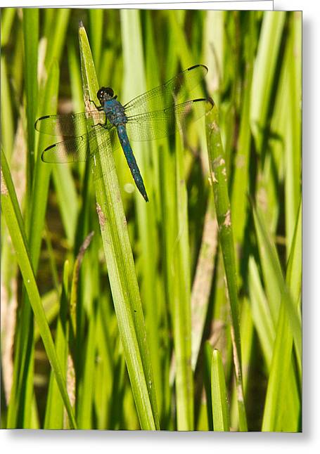 Predacious Greeting Cards - Blue Dragonfly 27 Greeting Card by Douglas Barnett