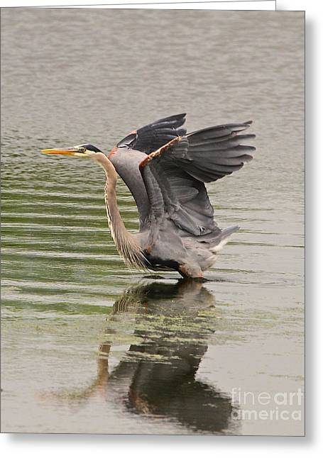 Take Action Greeting Cards - BLUE Heron Greeting Card by Robert Pearson