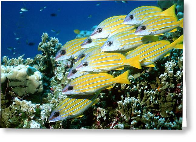 Snapper Greeting Cards - Blue-lined Snappers Greeting Card by Georgette Douwma