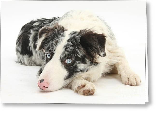 Tired Dog Greeting Cards - Blue Merle Border Collie Greeting Card by Mark Taylor