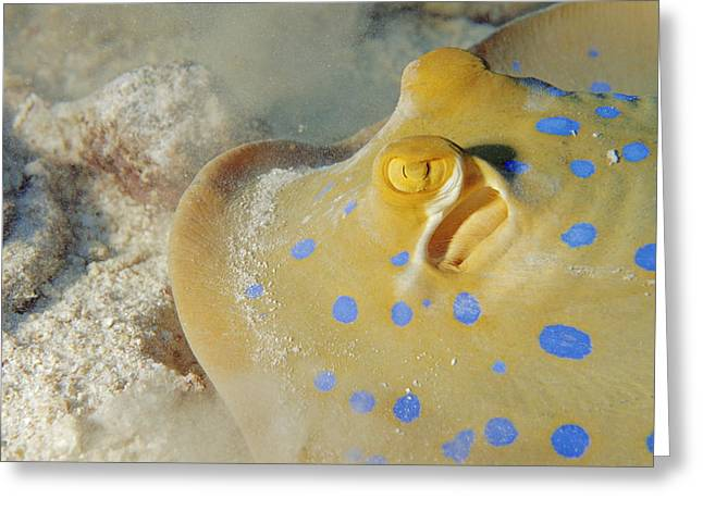 Spotted Blue Fish Greeting Cards - Blue-spotted Stingray Greeting Card by Alexis Rosenfeld