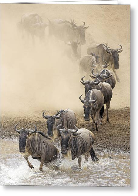 White Beard Photographs Greeting Cards - Blue Wildebeest Connochaetes Taurinus Greeting Card by Winfried Wisniewski