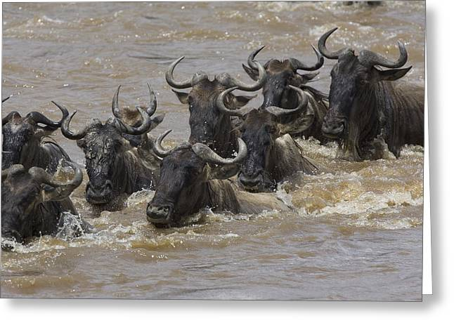 White Beard Photographs Greeting Cards - Blue Wildebeest Crossing Mara River Greeting Card by Suzi Eszterhas