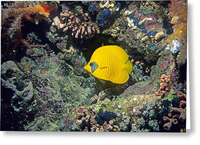 Chaetodon Semilarvatus Greeting Cards - Bluecheek Butterflyfish Greeting Card by Georgette Douwma