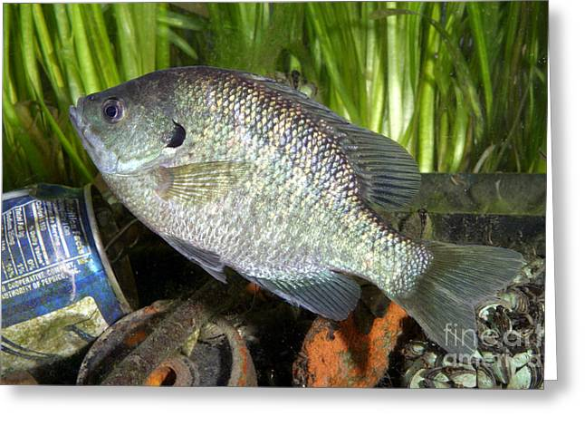 Bluegill Greeting Cards - Bluegill In Polluted Water Greeting Card by Ted Kinsman