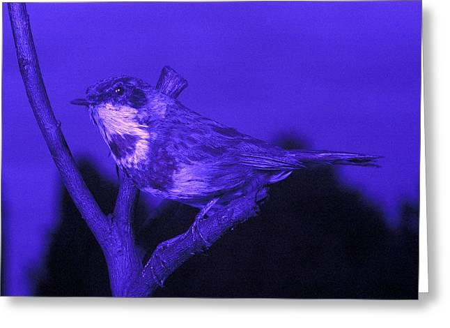 Ultraviolet Light Greeting Cards - Bluethroat Greeting Card by Volker Steger