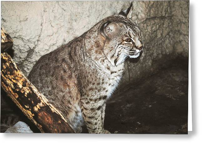 Bobcat Greeting Cards - Bobcat Greeting Card by DiDi Higginbotham
