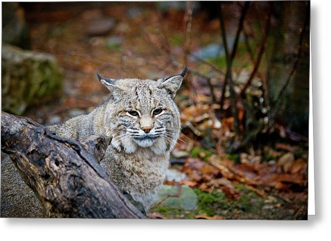 Bobcat Greeting Card by Jim DeLillo