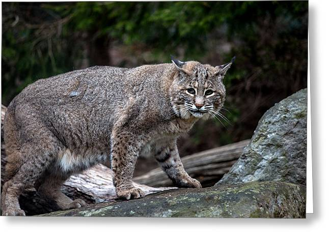 Bobcats Photographs Greeting Cards - Bobcat Greeting Card by John Dryzga