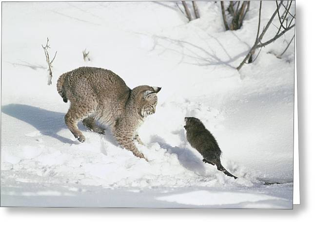 Lynx Rufus Greeting Cards - Bobcat Lynx Rufus Hunting Muskrat Greeting Card by Michael Quinton