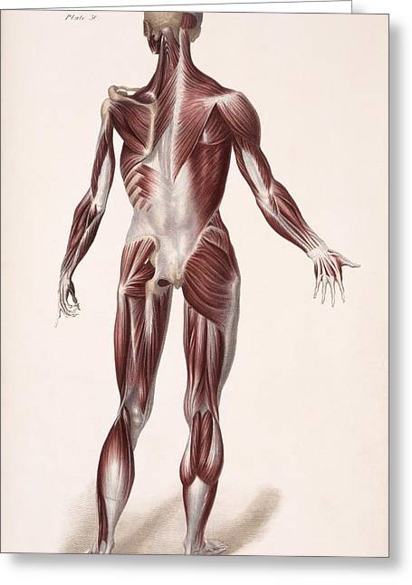 Deep Layer Greeting Cards - Body Musculature Greeting Card by Sheila Terry