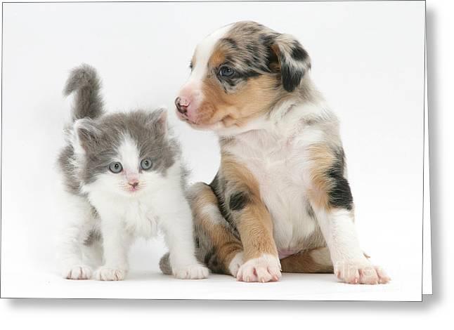 Cute Kitten Greeting Cards - Border Collie And Kitten Greeting Card by Jane Burton
