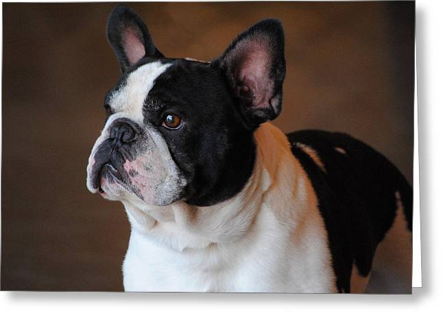 Show Dog Greeting Cards - Boston Terrier Greeting Card by Jai Johnson