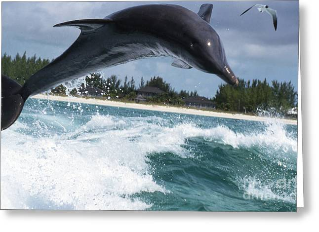 Delphinidae Greeting Cards - Bottlenose Dolphin Jumping Greeting Card by Beverly Factor