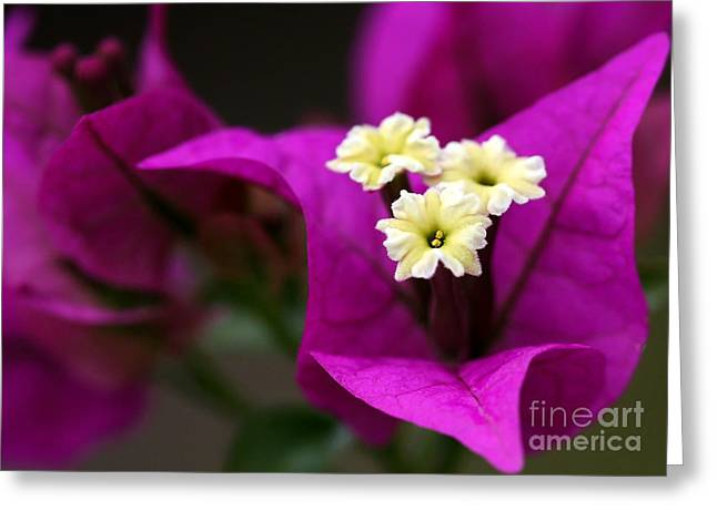 Florida Flowers Greeting Cards - Bouganvillea Greeting Card by Sabrina L Ryan